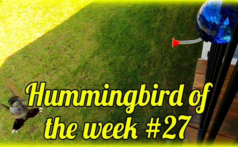Hummingbird of the week #27