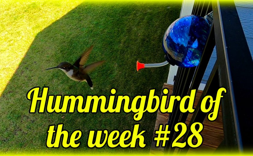 Hummingbird of the week #28