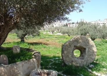 Olive Trees in Jacob's Field in Palestine