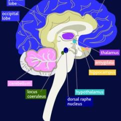 The Anatomy Of Anxiety Diagram T1 Line Wiring 10 Steps To Lower Become Empowered Explore What S Next Brain Amygdala Hippocampus