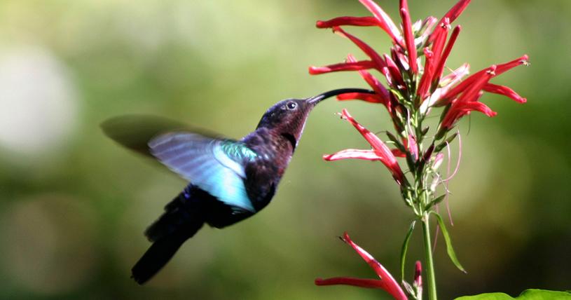 carib_hummingbird_feeding