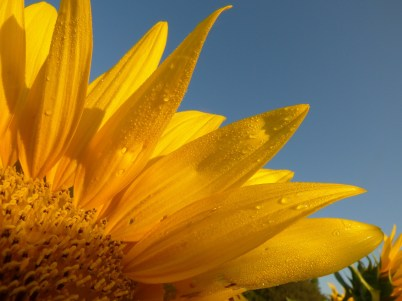 sunflower-1472341_1920