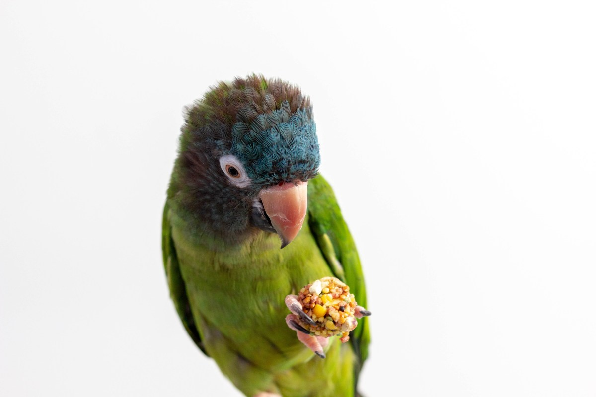 Blue Crowned Conure Nutriberry Forage Parrot