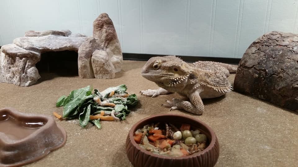 Read more about the article Reproductive disease in Bearded Dragons