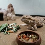 Reproductive disease in Bearded Dragons