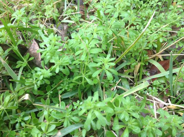 Forage for cleavers - great kidney tonic and cleanser. Abundant this time of year in Texas.