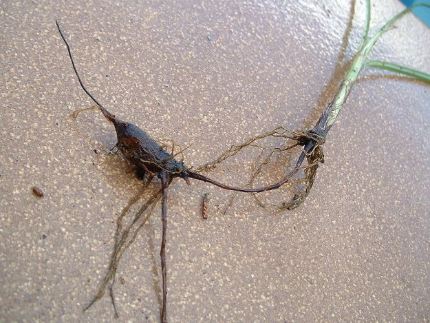 Purple nutsedge tuber or root. This is the part you eat!