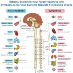 Vagus Nerve Diagram 2007 Yamaha Rhino 660 Wiring Yoga For Balance Dr Arielle Schwartz The And Your Health