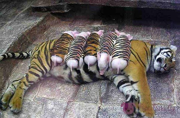 Една тигрица броди...