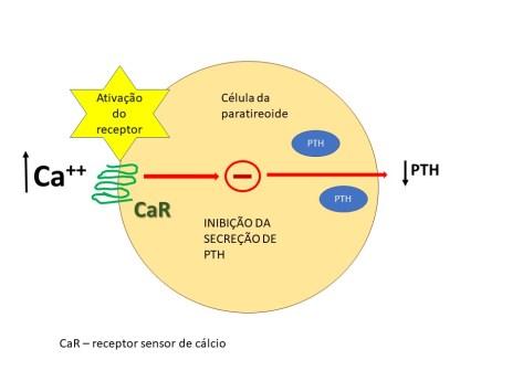 Ativação do receptor sensor de cálcio na hipercalcemia e redução da secreção do PTH