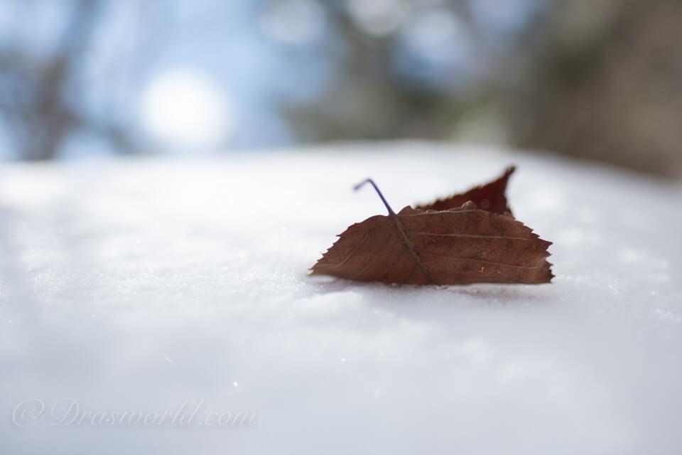 XF16mmF1.4で雪上の落ち葉を接写