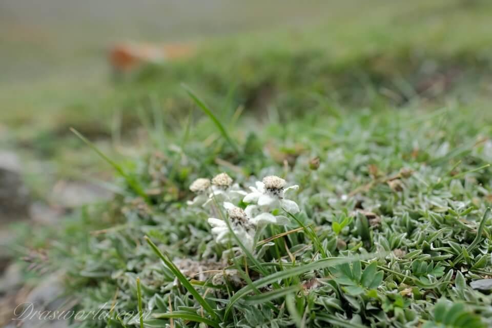 夏のラダック、標高4000mに咲くお花とXF16mmF1.4 R WRのコラボ