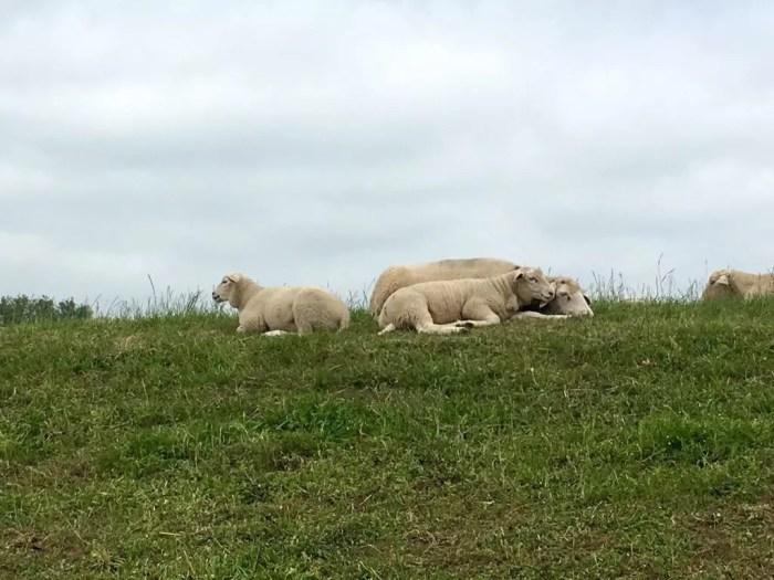 Schafe auf dem Elbdeich nahe Havelberg