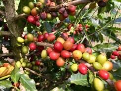 Reife und fast reife Kaffeekirschen vor der Ernte