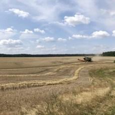Kornfeld während der Ernte bei Lassan