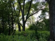 Mächtige Ulmen am Elbufer im Heuckenlock