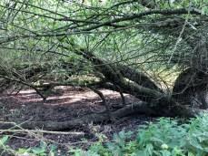 Umgestürzte Weide am Wanderpfad