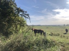 Pferdekoppel bei Ziemitz auf Usedom