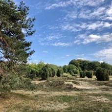 Heidelandschaft mit Wacholderbüschen bei Wilsede