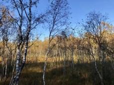 Birkenwäldchen am Moorlehrpfad im Himmelmoor