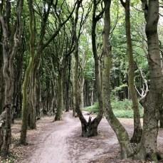 Im Gespensterwald bei Nienhagen an der Ostsee