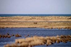 Hirsche auf der Nordspitze des Darß im Nationalpark Vorpommersche Bodenlandschaft (2)