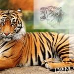 تعلم رسم نمر خطوة بخطوة بالصور