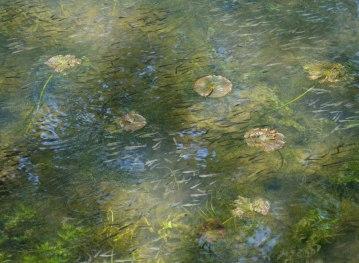 Waterliliesandfish