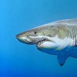 Amazing Realistic Shark Speed Drawing