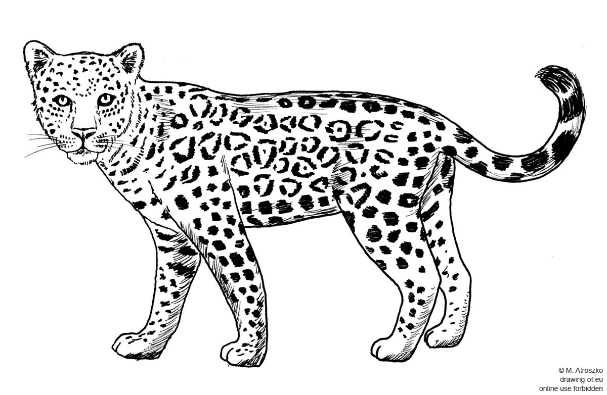 Drawing Of Jaguar Drawing Of