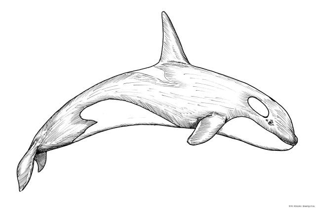 Orca drawing – drawing-of.eu