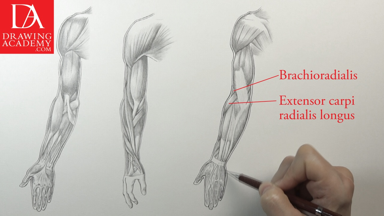 hight resolution of muscles of an arm
