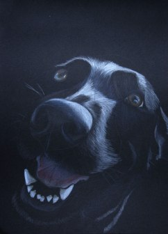 Sketch of Abby, Labrador Cross- Coloured pencil on black card, 2011