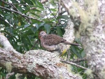 Malay Spotted Dove in pohutukawa treaa