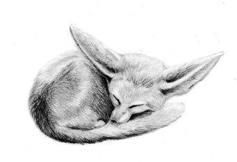 Fennec Fox sleeping, graphite on Fabriano 5, 2013