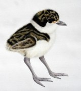 Spur-winged plover chick, 2013, acrylics