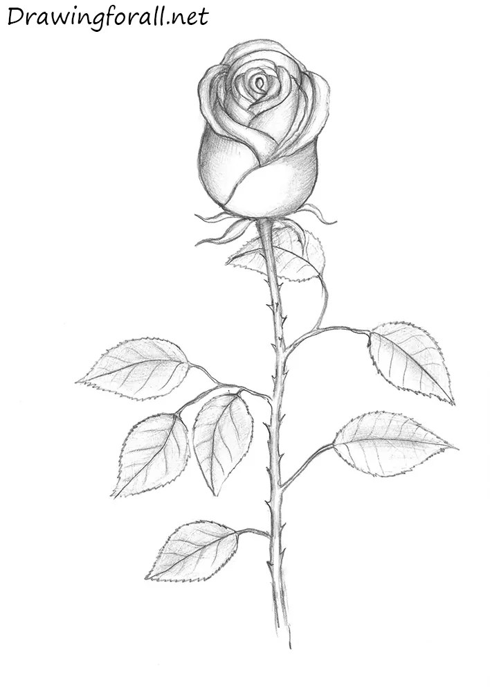 How To Draw A Rose Bud :