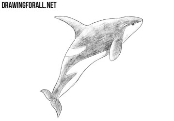 Realistic Killer Whale Drawing