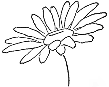 Drawing the Daisy : How to Draw Daisies with Easy Step by