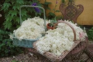 foraged elderflower