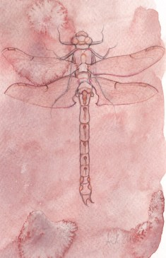 Line drawing - club tailed dragonfly