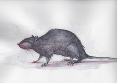 Blood trail rat - watercolour and water soluble pencils