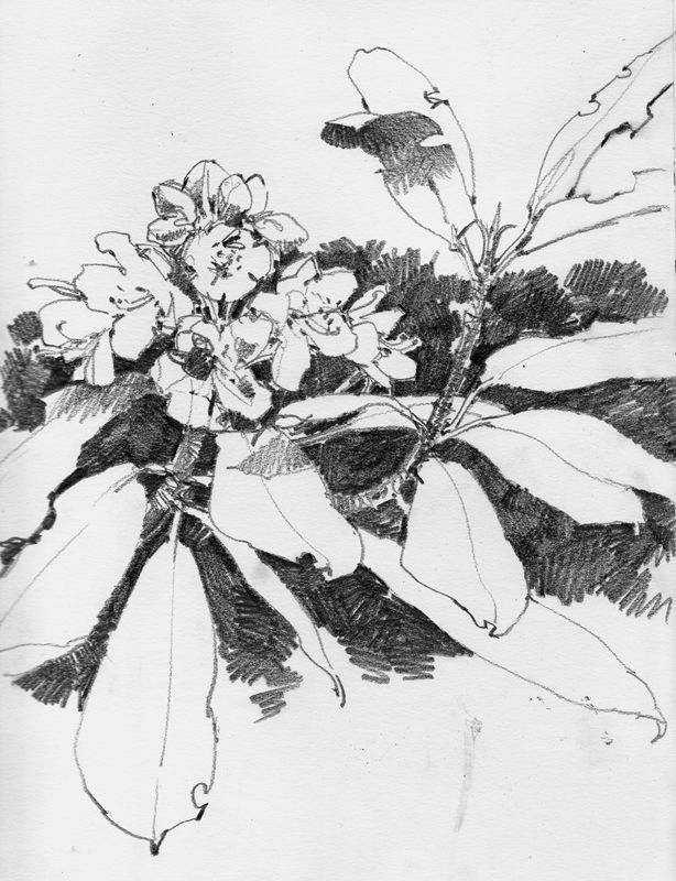 rhododendrons, graphite 8 1/2x11
