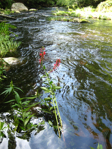 Cardinal Flower in the Swift River, Petersham