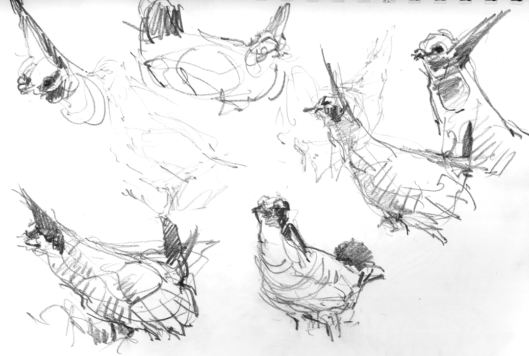 Sketching from a blind is the way to go for skittish and utterly compelling birds like the Lesser prairie chicken.
