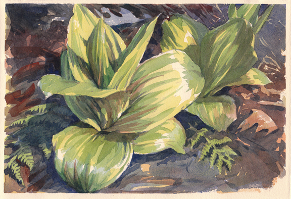 Skunk Cabbage at Moccasin Brook, Petersham, Massachusetts