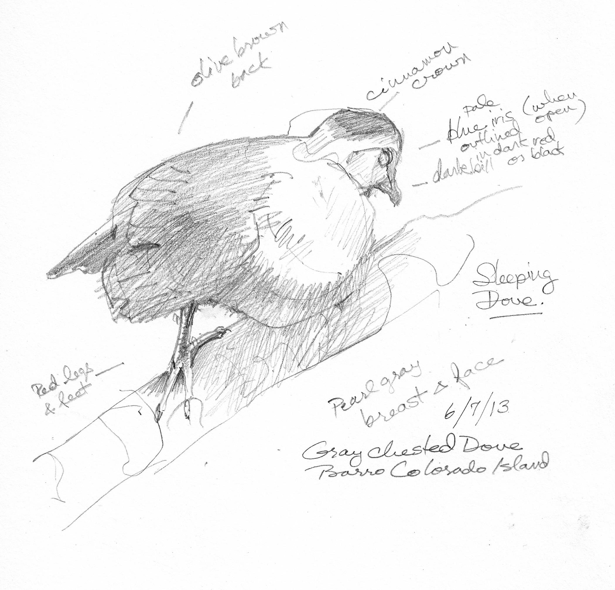 Panama/Barro Colorado Island Sketchbook 2013