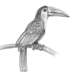 toucan pencil drawing birds drawings draw sketch easy animals simple step tutorial sketching tutorials bird sketches animal pencils quick drawingtutorials101