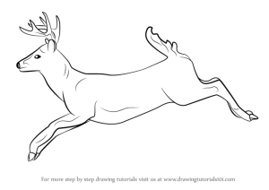 deer draw tailed drawing step wild animals whitetail tutorial learn