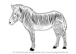 zebra draw drawing step zoo animals stripes learn tutorials drawingtutorials101